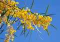Flowers of golden wattle acacia pycnantha yellow macro photo Royalty Free Stock Image