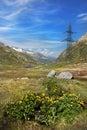 Flowers at Gotthard pass road, Alps, Switzerland Royalty Free Stock Photo