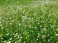 Flowers grass green with little wildflowers lawn healing herb blade grassy Stock Image