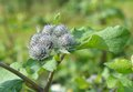 Flowers of Great Burdock (Arctium lappa) Royalty Free Stock Photo
