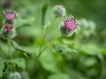 Flowers of Great Burdock (Arctium lappa). Royalty Free Stock Photo