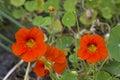 Flowers Of The Great Nasturtium