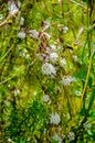 Flowers of a greater dodder, Cuscuta europaea, a parasitic plant from Europe Royalty Free Stock Photo