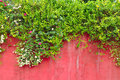 Flowers & green ivy plant on old colored concrete wall Royalty Free Stock Photo