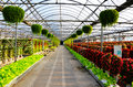 Flowers in greenhouses on both sides of the aisle Royalty Free Stock Images