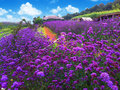 Flowers growing on the mountain path way along violet to midst of mountains Royalty Free Stock Photo