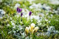 Flowers growing snow spring crocus Royalty Free Stock Photography
