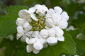 Flowers of guelder rose viburnum opulus blooming in the garden Royalty Free Stock Photos