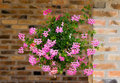 Flowers in hanging pot pink pots on brick wall Stock Images