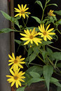 Flowers of a helianthus tuberosus on nature Royalty Free Stock Photo