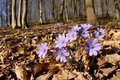 Flowers of hepatica Stock Photo