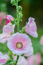 Flowers Holly Hock (Hollyhock) pink in the garden Royalty Free Stock Photo