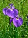 Flowers of Iris Stock Photography
