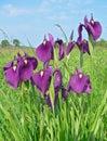 Flowers of Iris (Iris ensata) Stock Photo