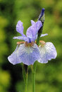 Flowers irises. Bloom. Colors of summer. Petals of flowers. Blue. Bright. Drops of dew branch Royalty Free Stock Photo
