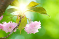 Flowers of a japanese cherry tree prunus serrulata in spring against the sunlight backlight situation Royalty Free Stock Photos