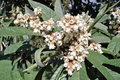 Flowers of japanese loquat tree and leaves the eriobotrya japonica Royalty Free Stock Images