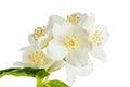 Flowers Of A Jasmin
