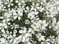 Flowers , just white small flowers,but so pretty Royalty Free Stock Photo