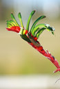Flowers,Kangaroo Paw,Australia Royalty Free Stock Photo