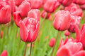 Flowers in keukenhof park in Holland Stock Image