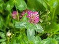 Flowers and leaves of Red Clover, Trifolium pratense, with bokeh background macro, selective focus, shallow DOF Royalty Free Stock Photo