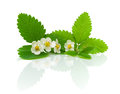 Flowers and leaves of strawberry on a white backgr