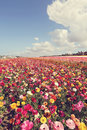 Flowers lots of colorful on a hill with gorgeous blue sky Royalty Free Stock Photo