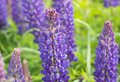 Flowers Lupins