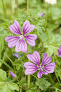 Flowers of mauve malva herbaceous plants in the family malvaceae mallow Stock Photo