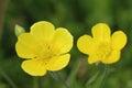 Flowers of meadow buttercup (Ranunculus acris)