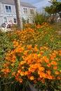 Flowers in mendocino california orange a garden Stock Images