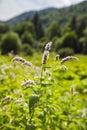 Flowers of mentha piperita