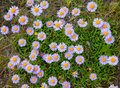 Flowers mountain asters Stock Image