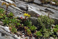 Flowers in the mountains macro on a rock ural Royalty Free Stock Photography