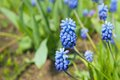 Flowers muscari latin Stock Images