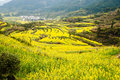 Flowers ocean in wuyuan county jiangxi province china rural landscape with rape all around taken Royalty Free Stock Images