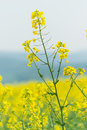 Flowers of oilseed rape Royalty Free Stock Photo