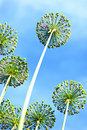 Flowers of onions against blue sky Royalty Free Stock Photo