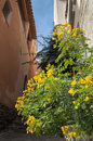 Flowers on passage at bormes les mimosa mimosas france Royalty Free Stock Photo