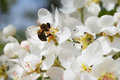 Flowers of a pear with a bee Royalty Free Stock Photos