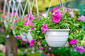 Flowers in pendent flowerpots Royalty Free Stock Photo