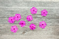 Flowers phloxes on a wooden background Stock Image