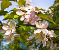 Flowers of pink apple tree Royalty Free Stock Photos