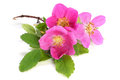Flowers of pink dog rose with leaves Royalty Free Stock Photo