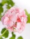 Flowers of pink geranium closeup Royalty Free Stock Photo