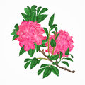 Flowers pink rhododendrons twig vintage vector