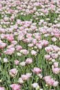 Flowers of pink tulips, blooming meadow. Royalty Free Stock Photo