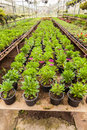 Flowers and plants in green houes interior of a greenhouse full of growing Stock Photography