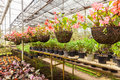 Flowers and plants in green houes interior of a greenhouse full of growing Royalty Free Stock Photo